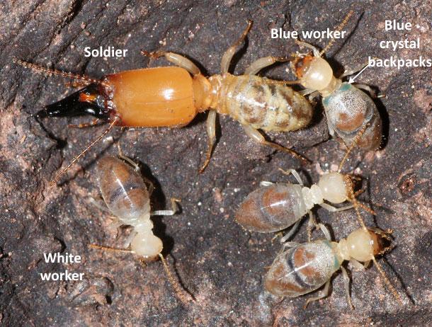 Suicide_backpack_termites.jpg