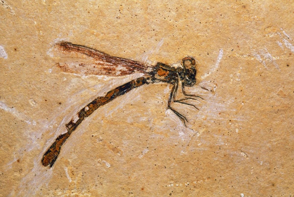 DSC-FL0719 03 dragonfly fossil