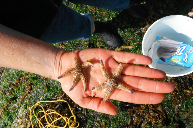Asian-amur-sea-star-Asterias-amurensis-in-Oregon.jpg