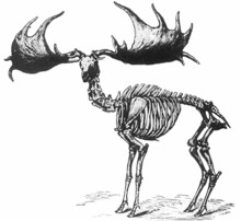 irish-elk-220.jpg