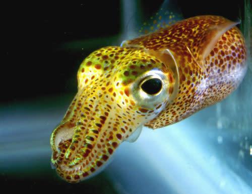 Bobtail-squid.jpg