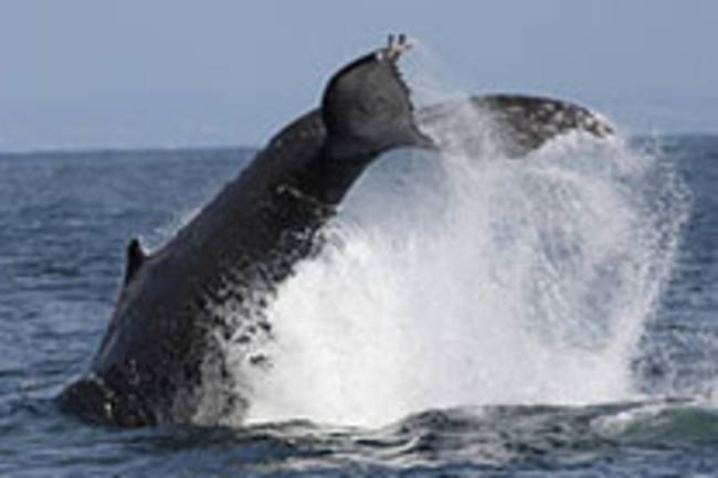 Humpback Whale - Flickr