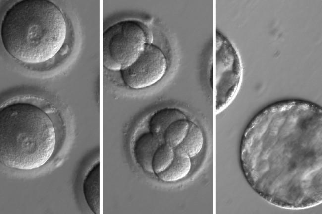 CRISPR embryos - OHSU