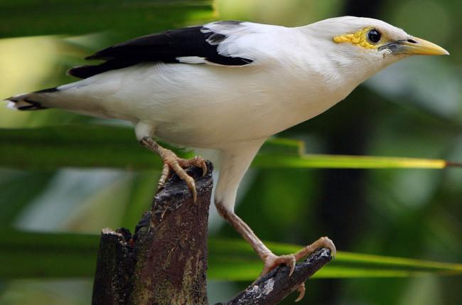 Black-winged starling - Doug Jansonjj