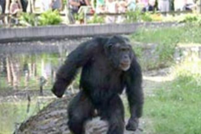 chimp-stone.jpg
