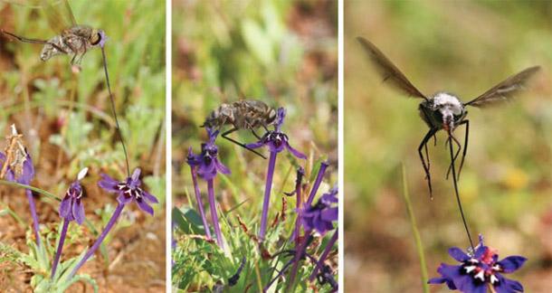 Long_tongued_fly_iris.jpg