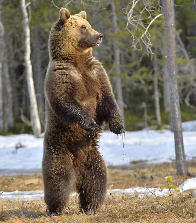 Brown Bear - Shutterstock