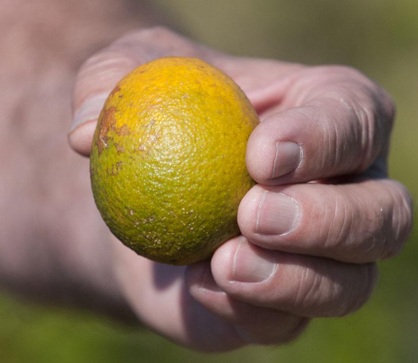 citrus-greening