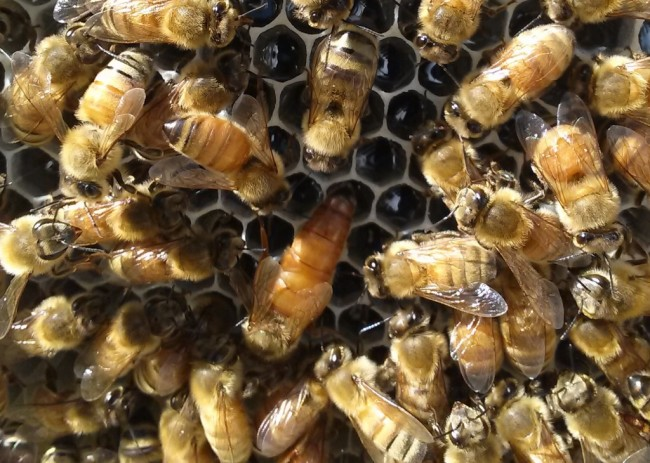 As eusocial insects, the world of the honey bee revolves around keeping the queen (larger bee in center of image) healthy and productive. (Credit: G. Tarlach)