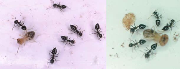 Crematogaster_ant_termites1.jpg