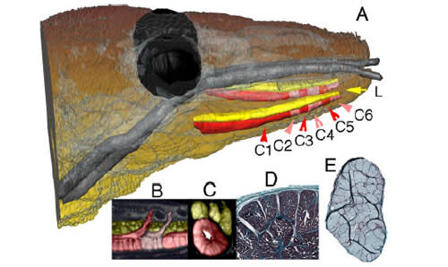 Komodo-dragon-venom-gland.jpg
