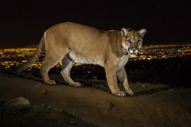 Cougar in LA - Winter
