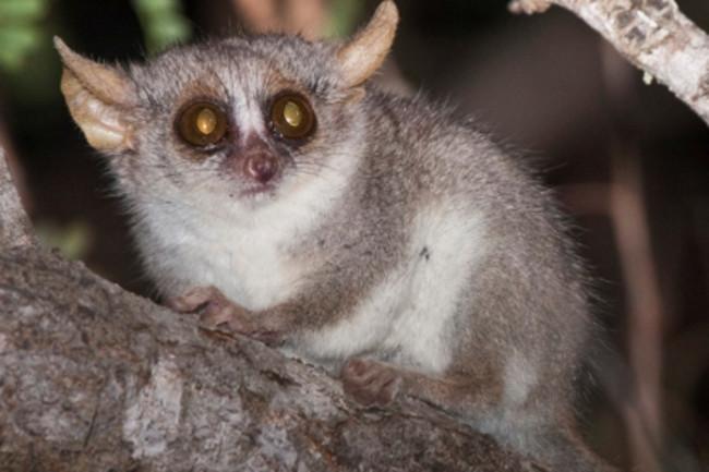 mouse-lemur.jpg