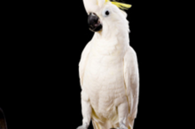 cockatoo220.jpg