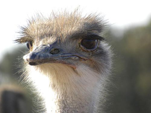 Ostrich_head.jpg