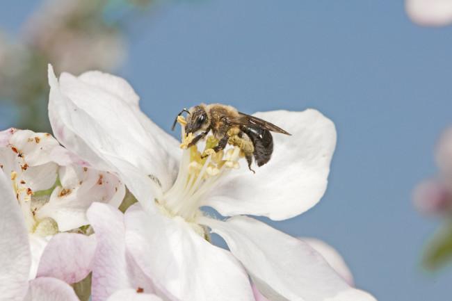 A wild bee (Melandrena sp.) visits an apple flower.