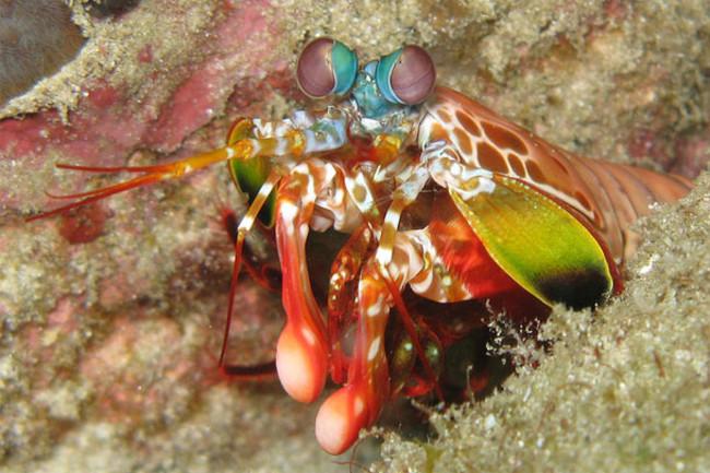 Mantis_shrimp1.jpg