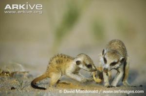 meerkat-300x198.png