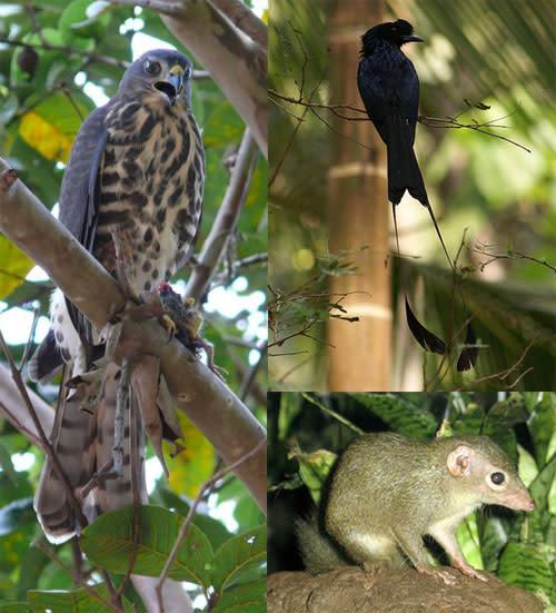 Hawk_drongo_treeshrew.jpg