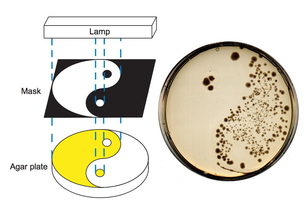 agar-plate.jpg