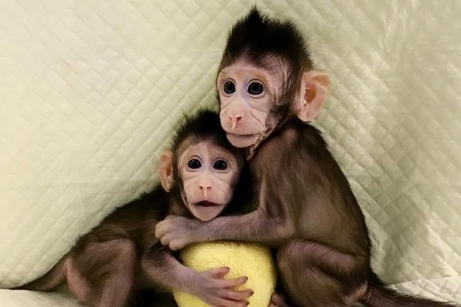Cloned-Primates