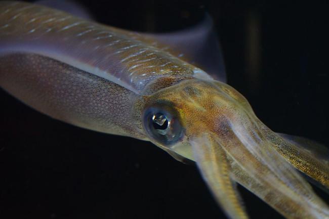 Bigfin_Reef_Squid_Sepioteuthis_lessoniana_16063247395.jpg