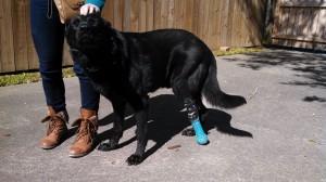 Jake-with-new-leg-300x168.jpg