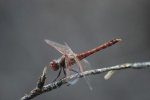 Sympetrum-corruptum-by-Chris-Goforth-300x200.jpg