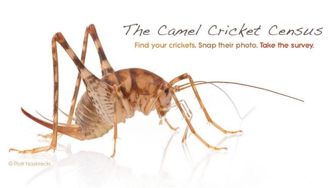Camel-Cricket2.jpg