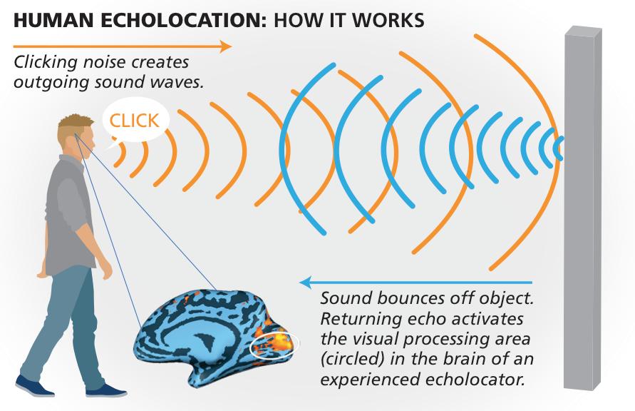 human echolocation graphic