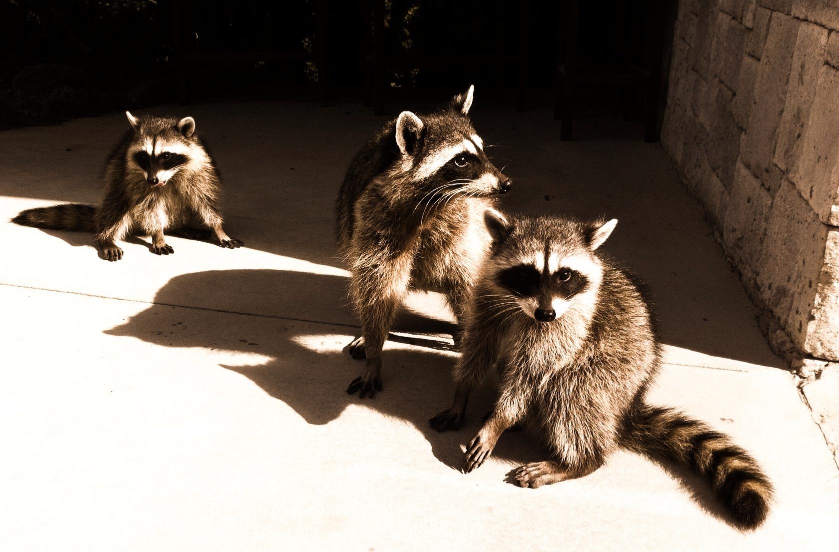 omnivore raccoon