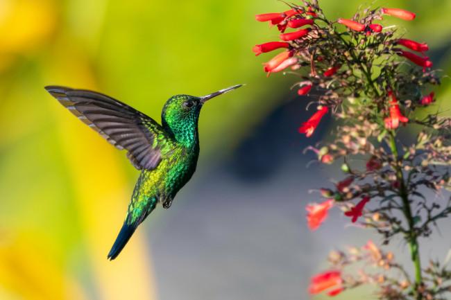 blue-chinned sapphire hummingbird - shutterstock
