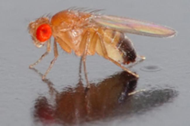 drosophila220.jpg
