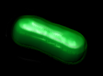 "THe first semi-synthetic organism, an E. coli bacteria expressing proteins made from ""unnatural base pairs."" (Credit: William B. Kiosses)"