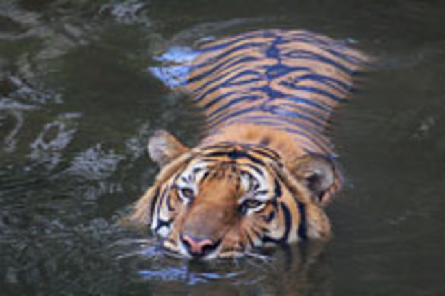 tiger-swimming.jpg