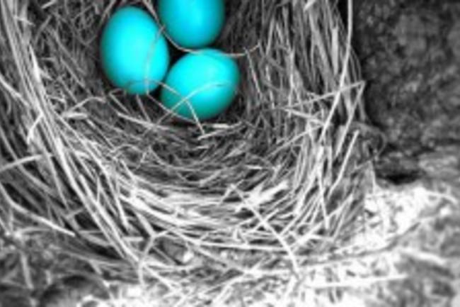 Why Do Some Birds Lay Blue Eggs Discover Magazine