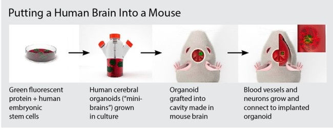 human-brain-mouse