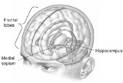 human-hippocampus250.jpg