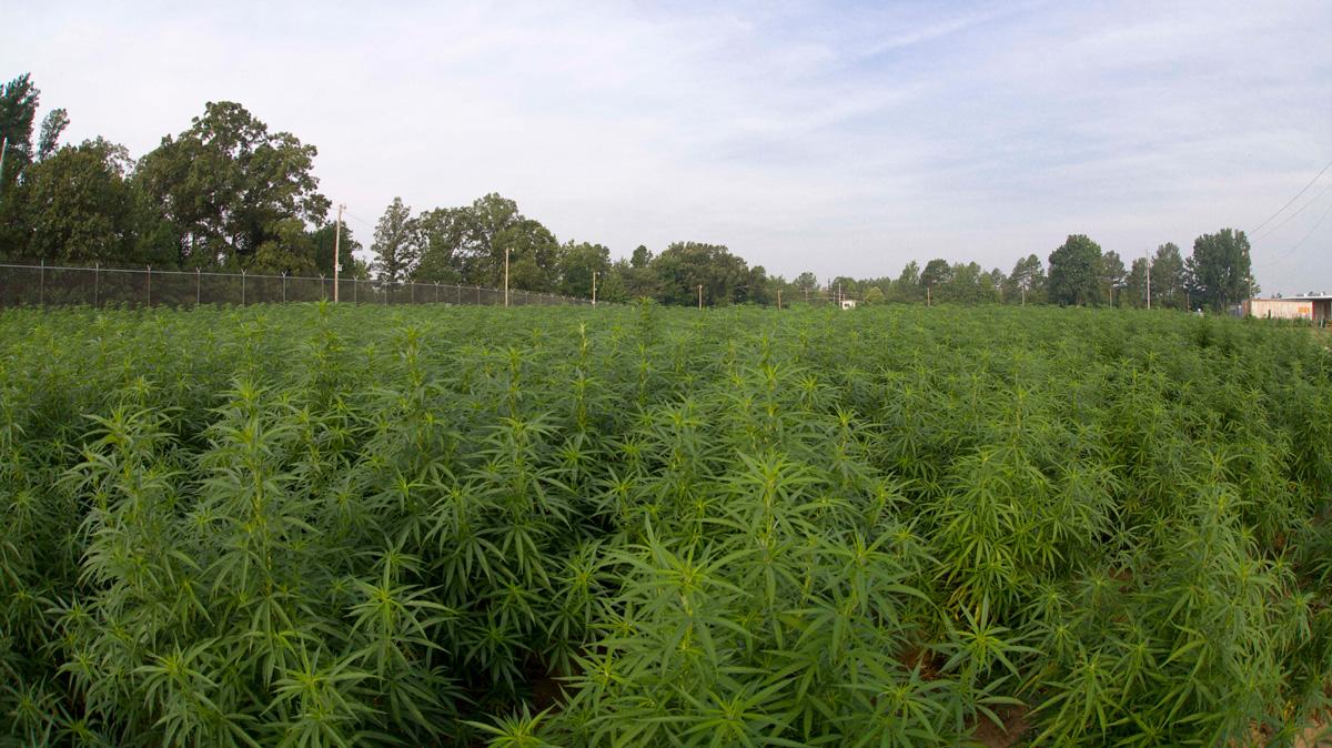 University-of-Mississippi-Marijuana