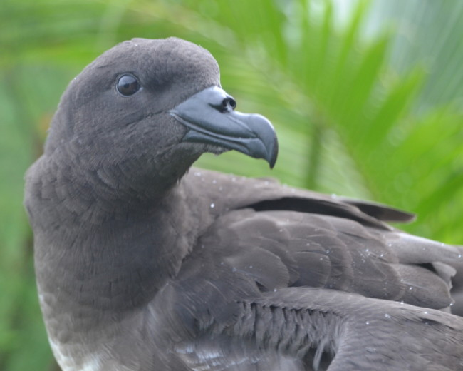 Tahiti Petrel - iNaturalist
