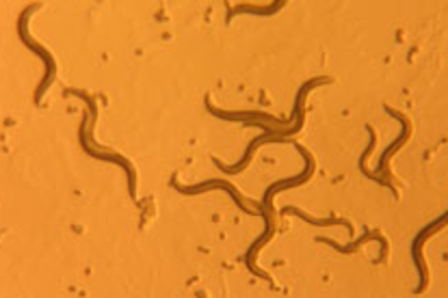 nematodes-worms.jpg