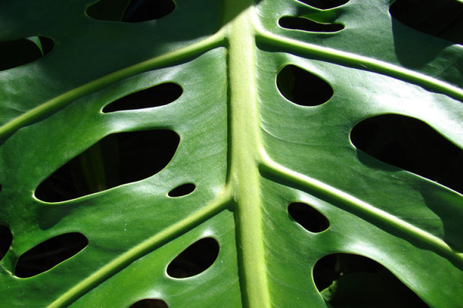 Why Do Houseplants Have Holey Leaves Discover Magazine