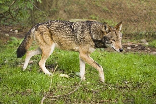 Red Wolf - Wikimedia