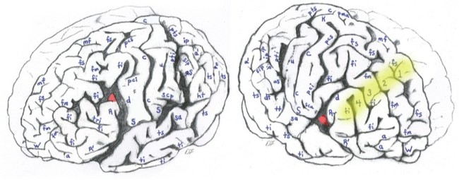 Chart of Einstein's Brain - Lepore