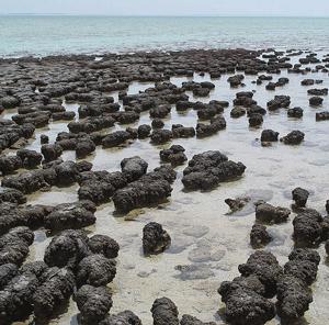 800px-Stromatolites_in_Shar.png