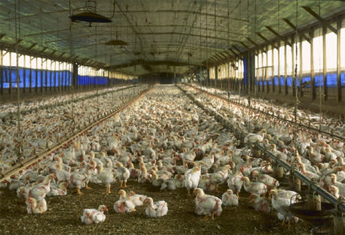 Broiler_chickens.jpg