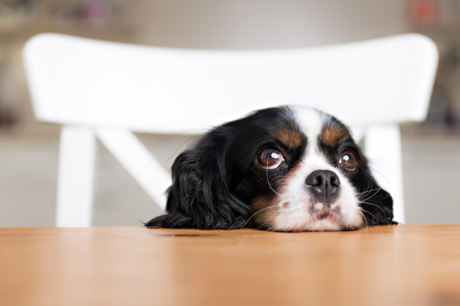 Puppy Dog Eyes - Shutterstock