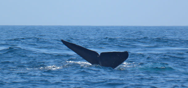 BlueWhale_Tail1.jpg