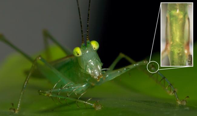 katydid ear