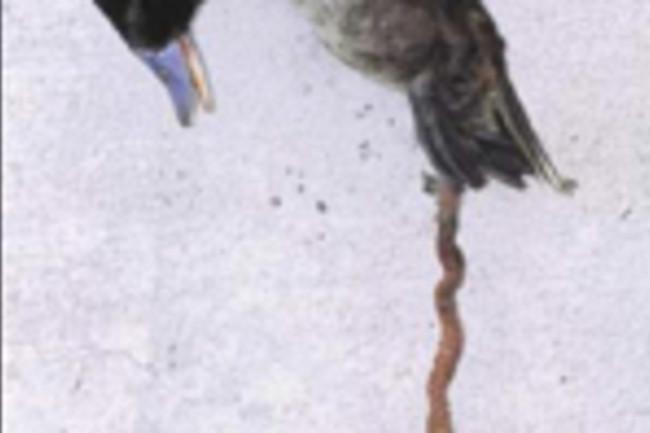 duck phallus